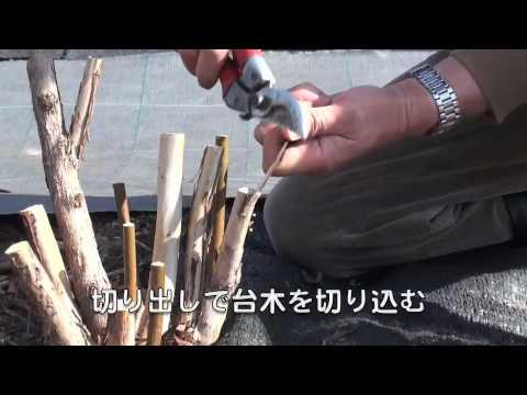 福田俊 ブルーベリーの接ぎ木/品種一挙更新 福田俊  ブルーベリーの接ぎ木/品種一挙更新