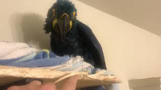Hyacinth Macaws enjoying a spa day