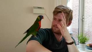 Funny dancing bird | Loki the Rainbow Lorikeet