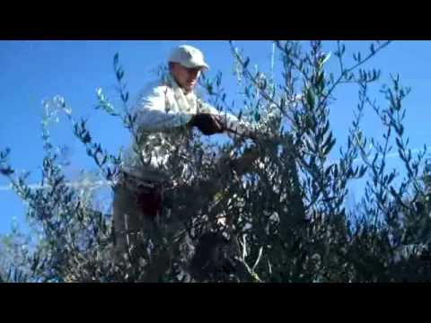 Pruning the olives, 14 December 2010 Music Videos
