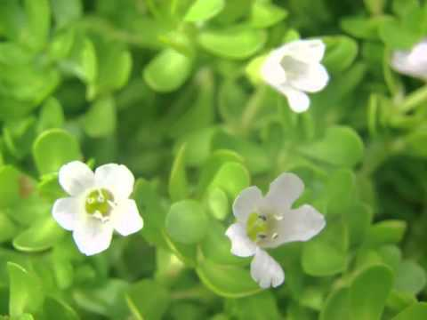 Brahmi Herb Benefits