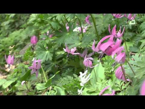 浅虫温泉・湯ノ島カタクリ - カタクリの花 - 0403A