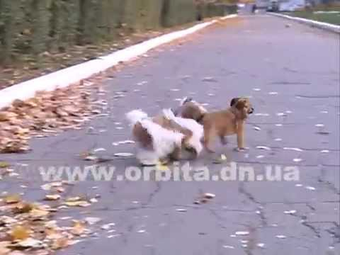 Ши-тцу – собака-львенок