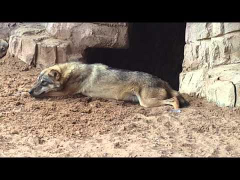 Arabian Wolf at Arabia's Wildlife Centre in Sharjah الذئب العربي في الشارقة
