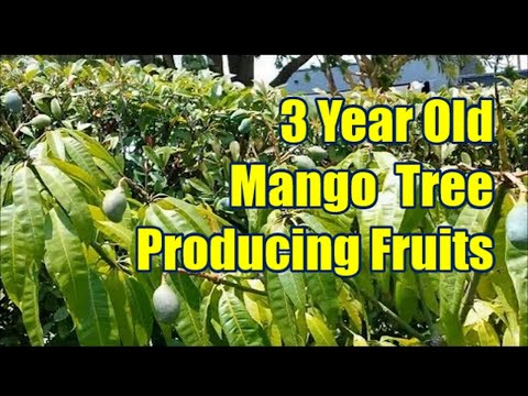Seed Grown 3 Year Old Mango Tree Producing Fruits video