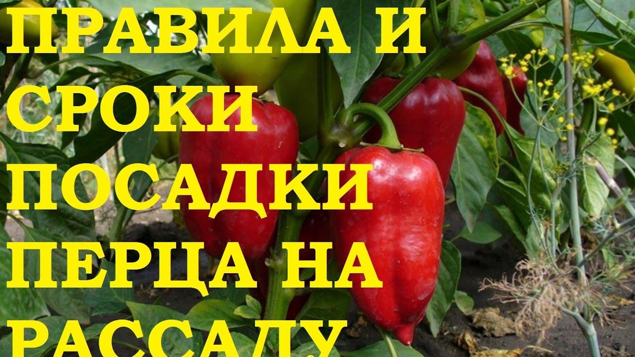 Выращивание перца: рассада