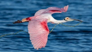 Incredible Roseate Spoonbill Bird in Flight Photography with Nikon D850 and D500