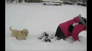 Golden Retriever puppies play in the snow