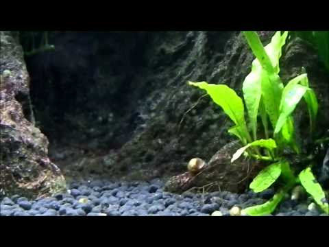 How to get rid of snails in your tank youtube for How to get rid of snails in fish tank