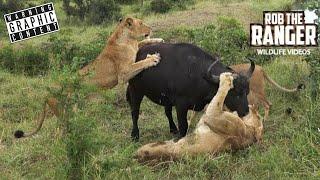 Incredible Lion Vs Buffalo Encounter In South Africa