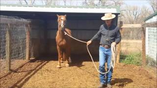 Shiloh #4, BLM Mustang Mare, Leading and Handling Continued, Sean Davies, ColoradoReinsman