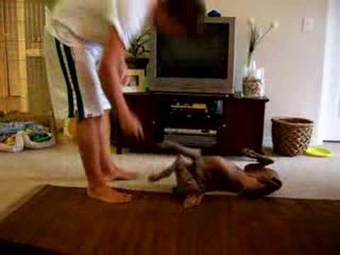 Weimaraner puppy doing tricks Video
