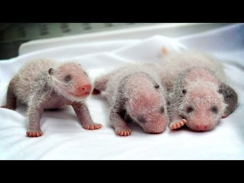 Incredibly RARE PANDA TRIPLETS born in China!