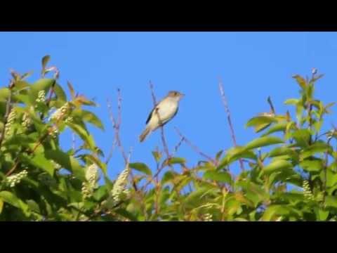 Willow Flycatcher Calling
