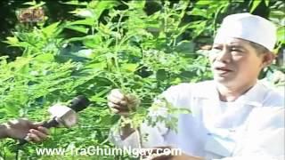 CAY CHUM NGAY - LOAI RAU SACH NHIEU DINH DUONG