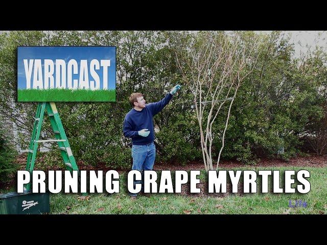 Pruning Crape Myrtles