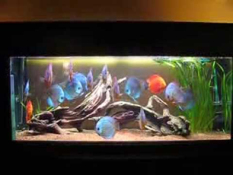 16 adulte stendker diskus 17 cm im 450 liter aquarium oder das gro e fressen youtube. Black Bedroom Furniture Sets. Home Design Ideas