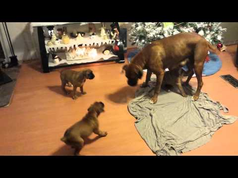 Puppies playing with theyre mamma