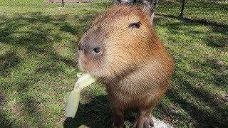 We Met Exotic & Endangered Animals At Amazing Animals!   Capybara, Tortise ASMR & More!