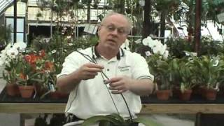 Where to Cut a Phalaenopsis Spike