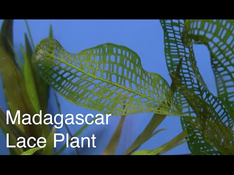 Fincasters Episode 57 Keeping Madagascar Lace Plant