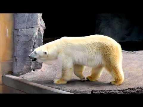 2011年7月28日 旭山動物園 寝ているルルと歩くピリカ1