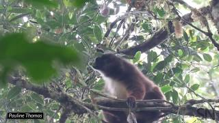 Watch a color-blind lemur sniff out ripe fruit to eat | Science News