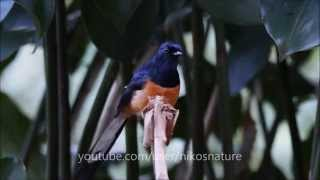 Shama Bird Singing Responding To Whistles In The Forest