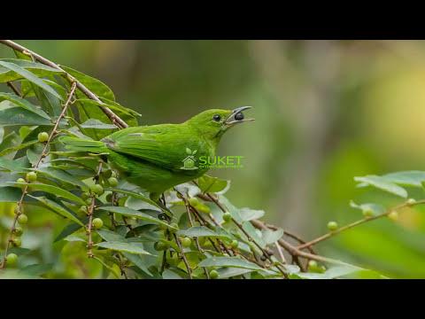 Suara Kicauan Burung Cucak Hijau Mini Liar Variasi 4 MP3
