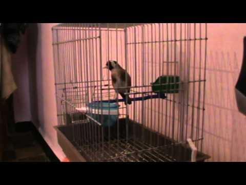 chardonneret gazret servati