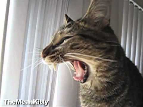 Slow Motion Kitty Yawn