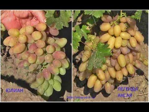 Сорта винограда на Полтавщине. Часть 1