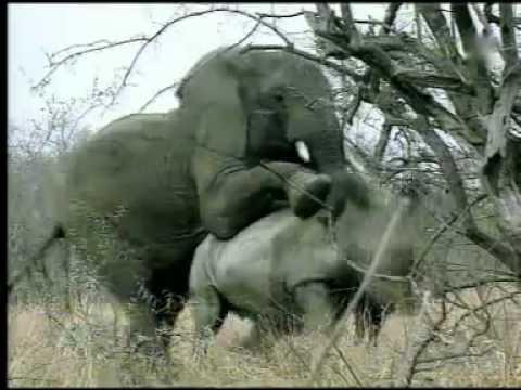 Olifant op neushoorn lange versie - YouTube Lion Vs Elephant