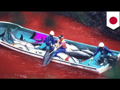the dolphin slaughter in taiji essay The dolphin slaughter in taiji essay 1133 words   5 pages whaling committee, tursiops aduncus (bottlenose dolphin) and all other dolphins are considered whales.
