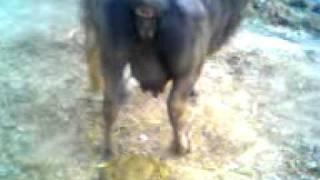 download lagu Funny Video Of Majj Doing Goha. gratis