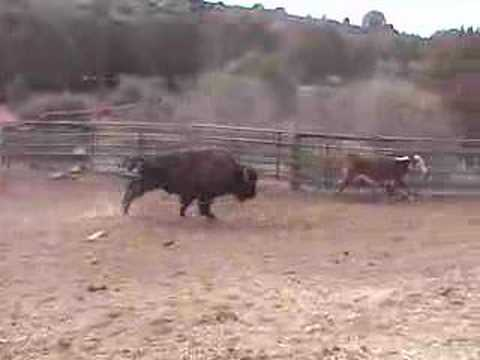 Buffalo Attacks Cow (read the description if u don't like this)