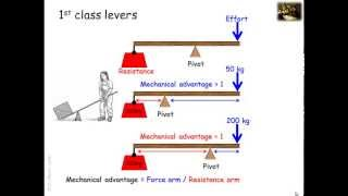 Lever systems in the human body