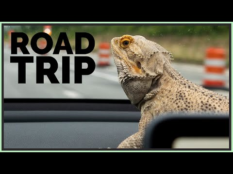 I Took My Bearded Dragon on a Road Trip