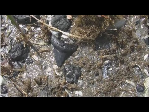 Hunting Fossilized Shark Teeth on the Beaches of South Carolina