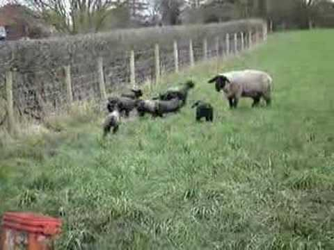 Baa Baa Black Sheep Have You Any Wool video