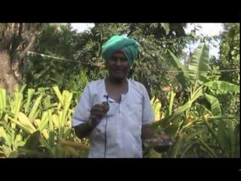Turmeric Cultivation Kannada BAIF Karnataka