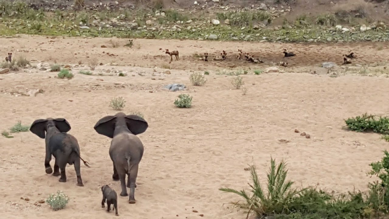 [Elephants Aint Got No Time For Wild Dogs] Video