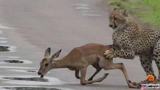 A young cheetah makes its first kill