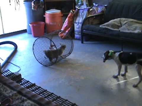 Coon dog training 3 month old walker on cage cat. Video