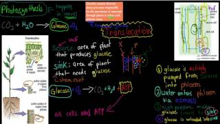MB.2.11. Xylem and Phloem --- transport in plants (HSC biology)