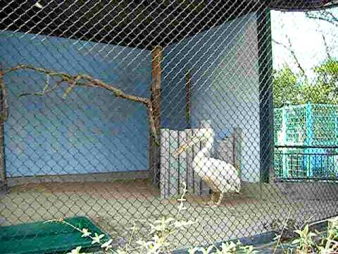 ご長寿日本一☆モモイロペリカンのペリーさん@大牟田市動物園