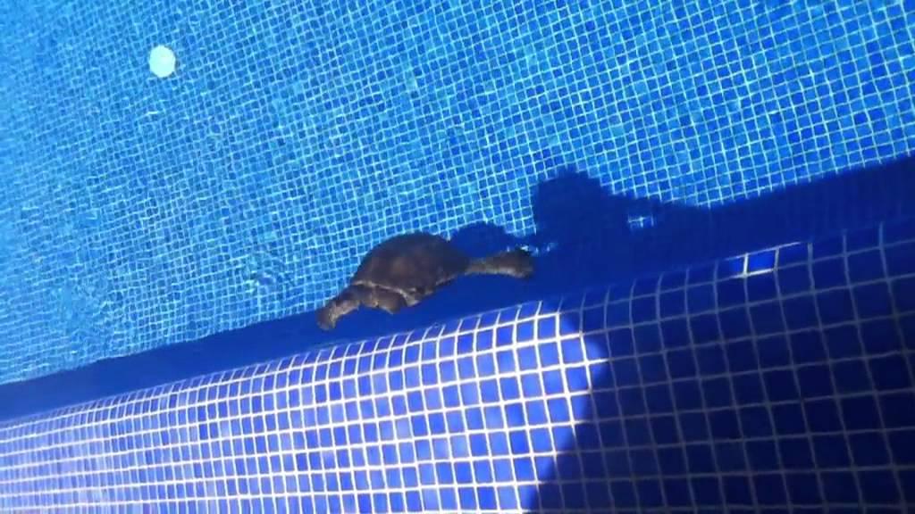 Tortuga nadando en la piscina youtube for Piscina para tortugas
