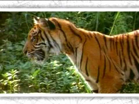 Bengal tiger - victim of climate change