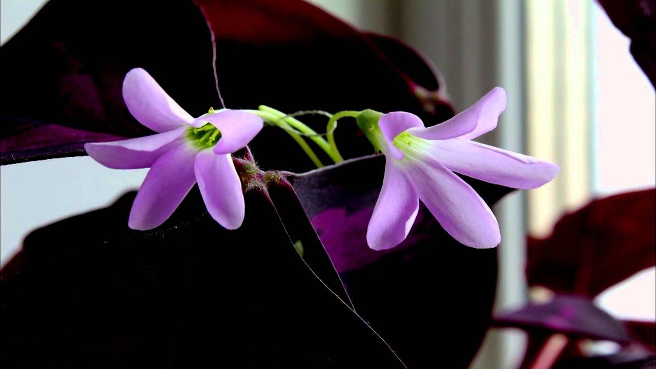 Цветок распускается 100 к 1
