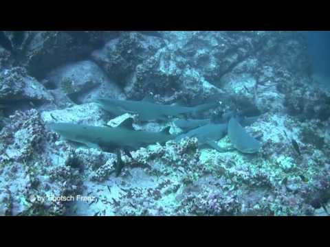 SHARK ISLAND -  Cocos Island, Costa Rica, Diving Cocos Island, Sea Hunter, Haitauchen in Costa Rica